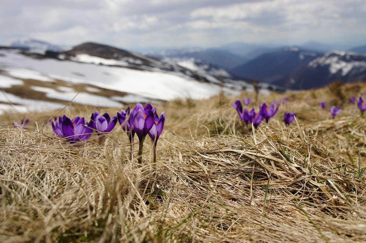 Spring flowers with a mountain covered in snow in the background
